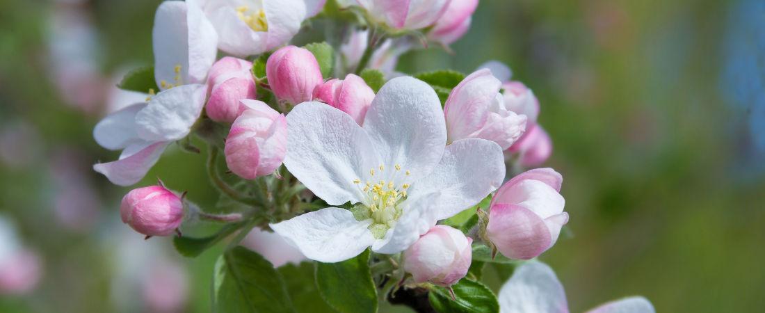 Aclareo en flor 3